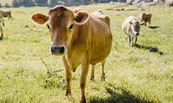 vache 1