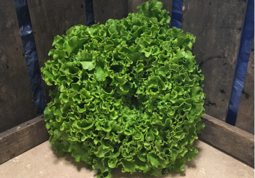 Salade Batavia pce