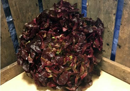 Salade Feuille de chêne rouge pce