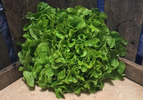 Salade Feuille de chêne verte pce