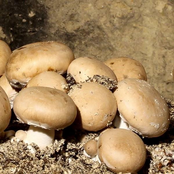 Champignons bruns bio