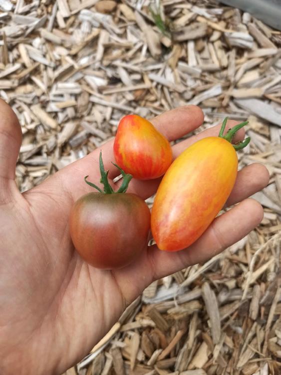 Tomates Cocktail Bio de la Ferme du Plantis