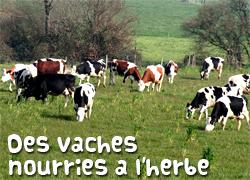 Des vaches nourries à l'herbe