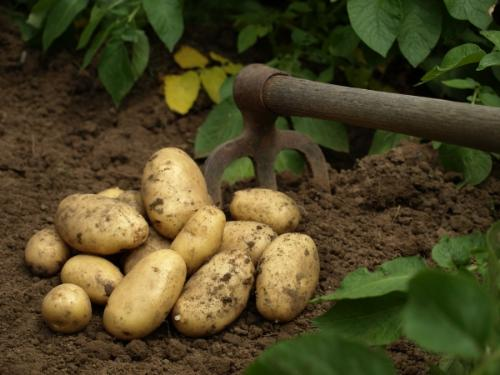 Pommes de terre Monalisa gros calibre