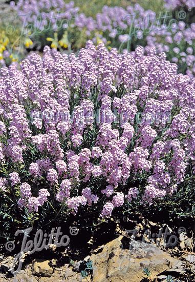 AETHIONEMA grandiflorum Cresson persan (pulchellum)