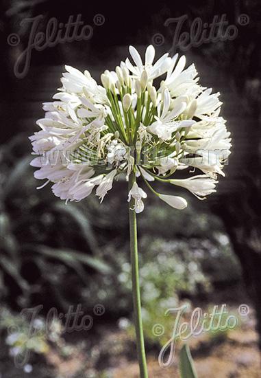 AGAPANTHUS ombelle 'Albus' Lys d'Afrique, muguet du Nil [parapluie blanc] (africanus)
