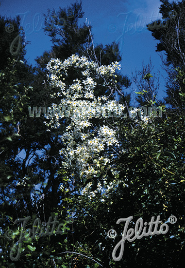 CLÉMATIS paniculata (Gmel.)