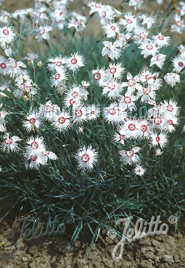 DIANTHUS spiculifolius Rose