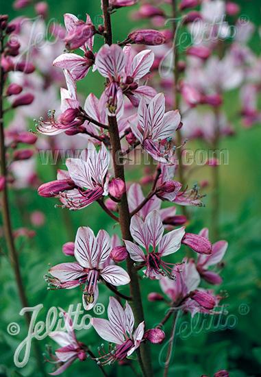 DICTAMNUS albus var. purpureus Buisson Ardent, Usine à Gaz, Diptam (Bai-Xian-Pi) (fraxinella)