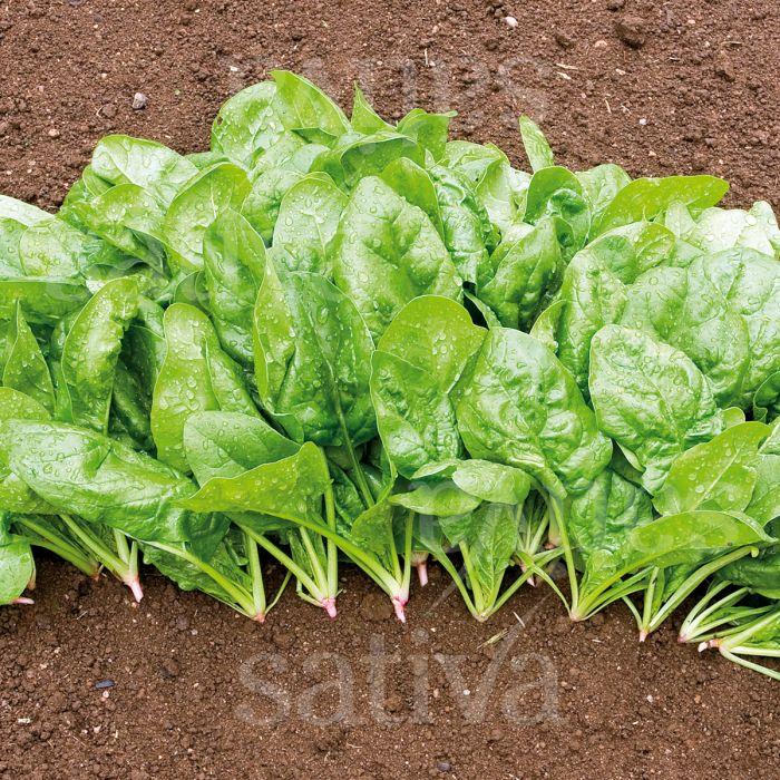 Epinard WINTERRIESEN, VERDIL KS (Spinacia oleracea)