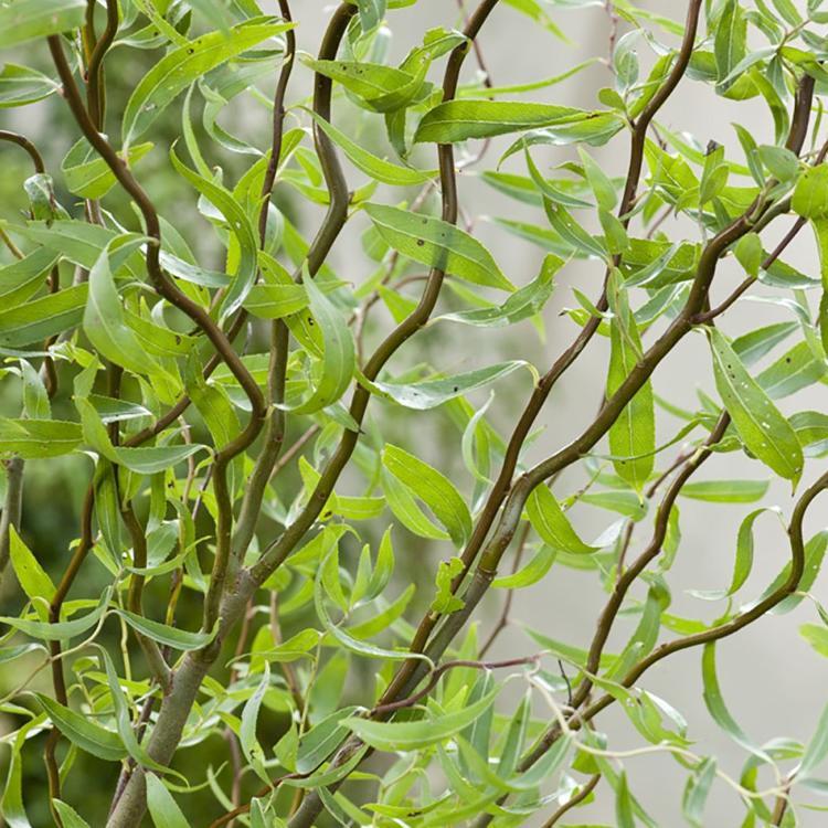 Saule tortueux «Salix matsudana 'Tortuosa»