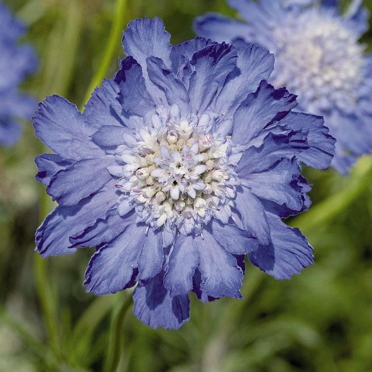 scabieuse du caucase «perfection blue» «Scabiosa caucasica»
