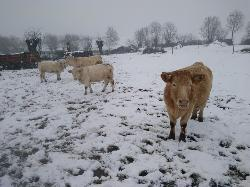 Les vaches sous la neige