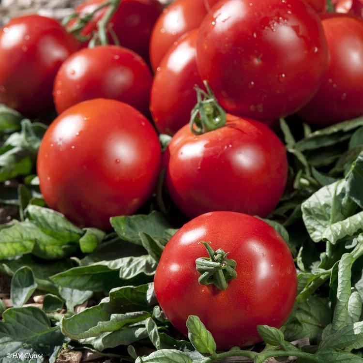 """Tomates ronde """"paola"""""""