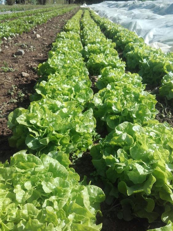 Salade (Potager de Sophie)
