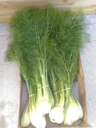 Fenouil (Doudoutière)