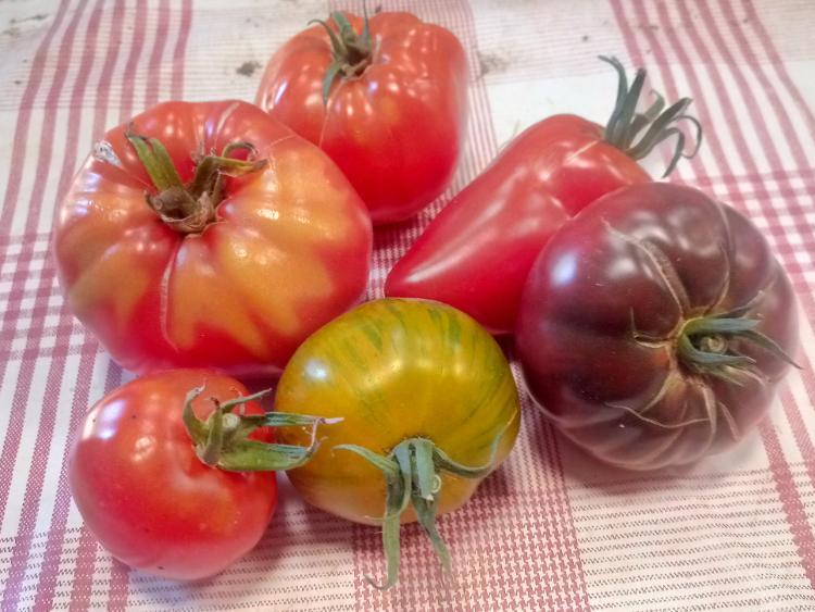 Tomates anciennes mélange de variétés (Potager de Sophie)