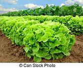 Salades Frisée de Monique