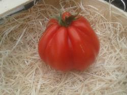 Tomates anciennes : coeur de boeuf de Ligurie (Albenga)