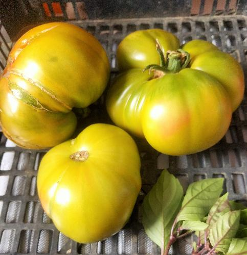 Tomates anciennes : evergreen