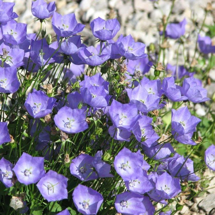 campanules des monts carpathes bleu «campanula carpatica»
