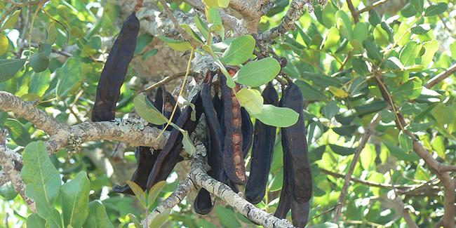 caroubier «ceratonia siliqua»