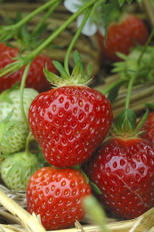 fraisier cigaline