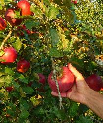 Purée de Pommes à la cannelle