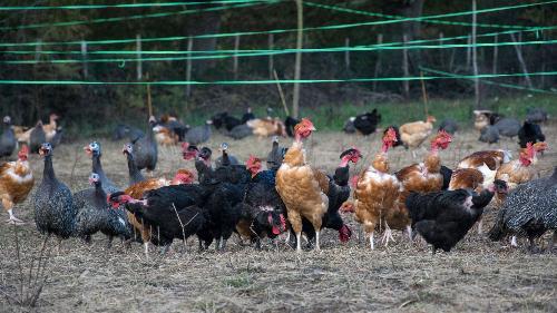 poulet biologique 2kg prêt à cuire