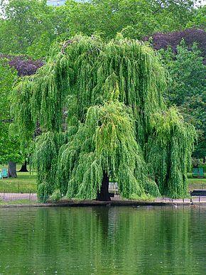Saule pleureur «Salix x chrysocoma Dode»