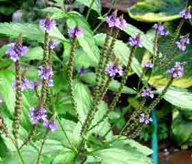 Verveine officinale «Verbena officinalis L.»