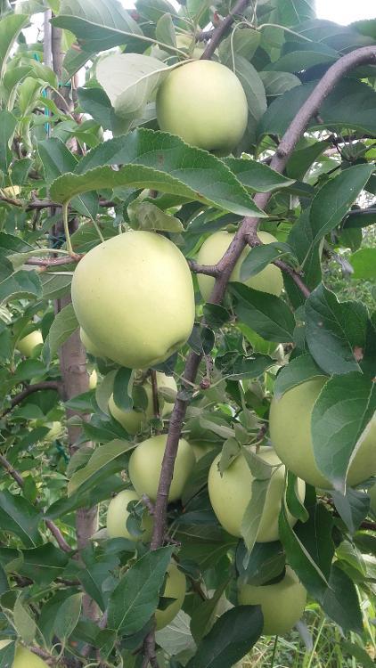 Pomme Golden 2 kg