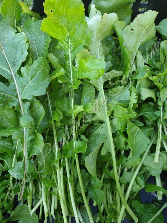 Roquette - Agriculture Biologique