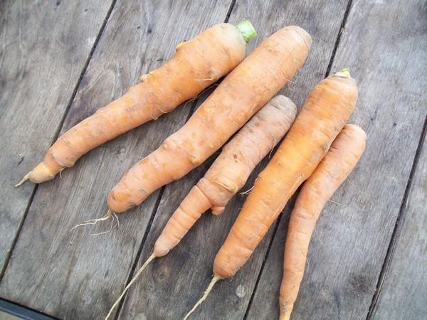 Carotte orange BIO Herba Humana