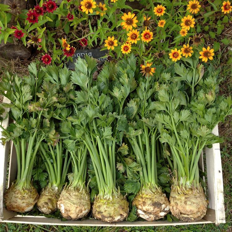 Céléri Rave et sa verdure BIO -1kg