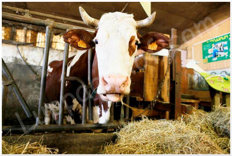 Lait cru entier de vache