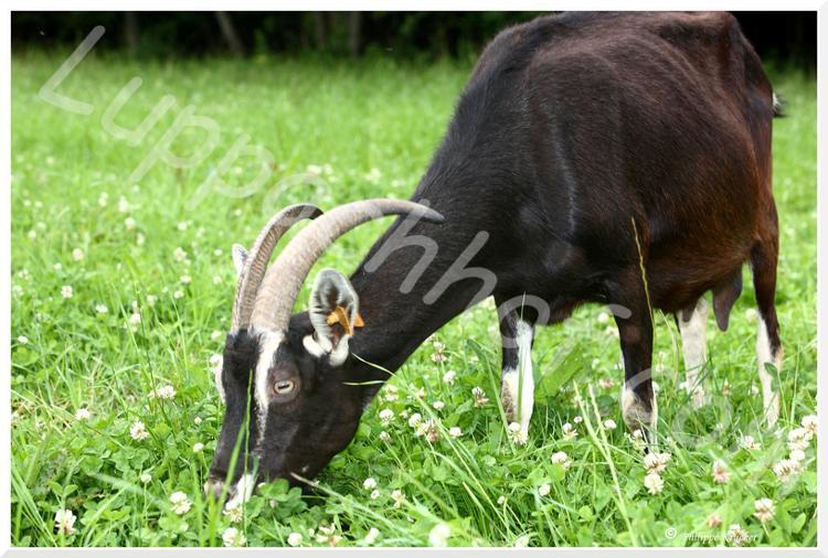 Lait cru entier de chèvre