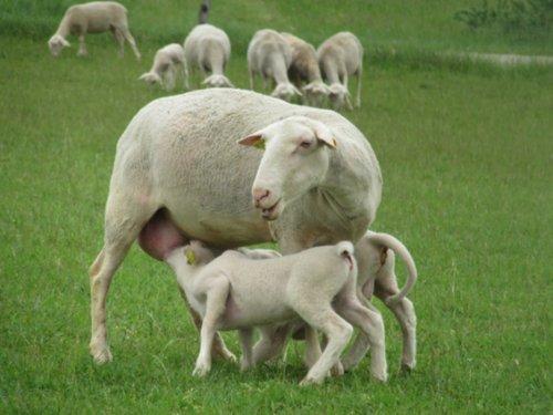 Le retour des colis d'agneau et des merguez !