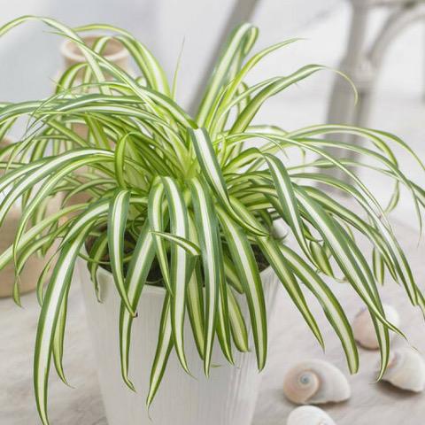 Chlorophytum comosum « panaché »