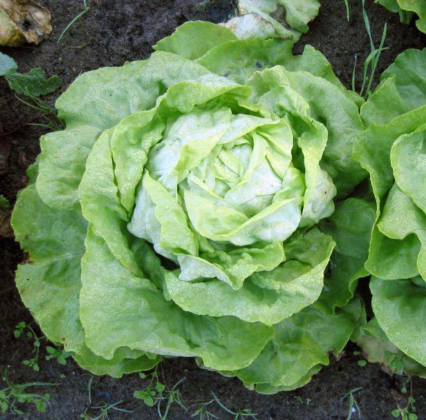 Salades (Laitue ou feuille de chêne ou batavia)