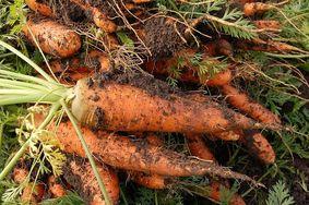 ARTICLE | La culture de la carotte