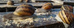 escargot - apéro cargot - moutarde ou huile olive