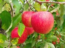 Jus de pommes - Vergers de Muant