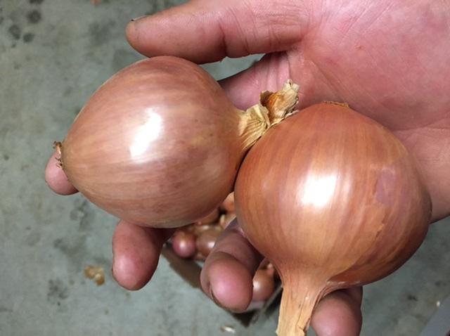 Oignons rosés de Bretagne