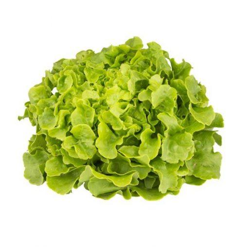Salade Feuille de chêne blonde - La Plaine Maraichère