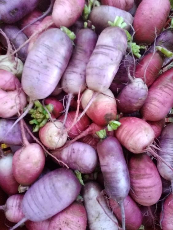 Radis raves violet et/ou rose
