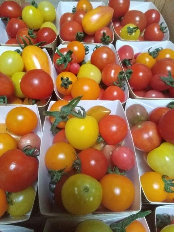 Tomates cerise panachées