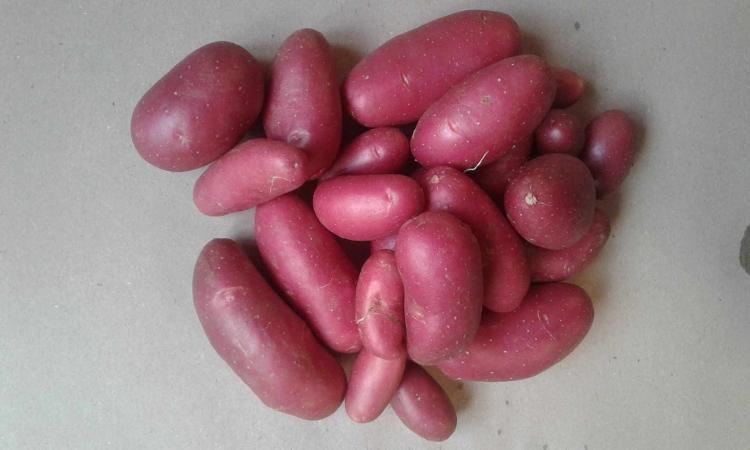 Pomme de terre Cheyenne Bio Les serres du Goueyre