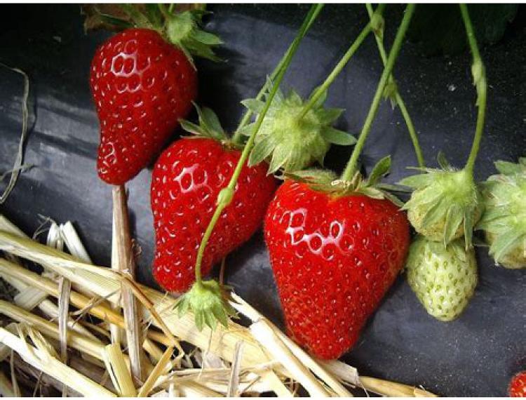 Plant de fraisier Cijosée Bio