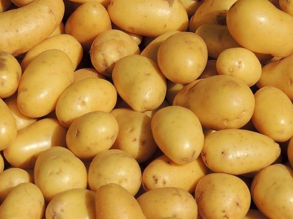 Pommes de terre nouvelles O'SIRENE EARL du Moulin Grand